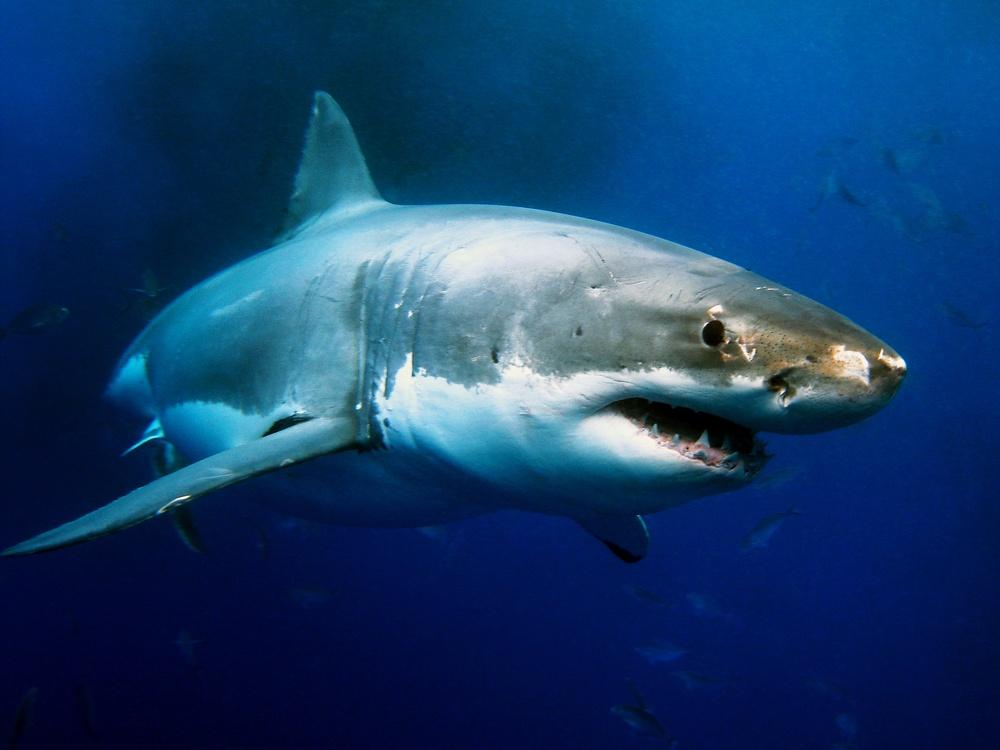 фото белой акулы первое место одессе