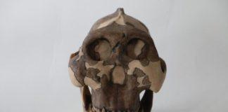 paranthropus-boisei